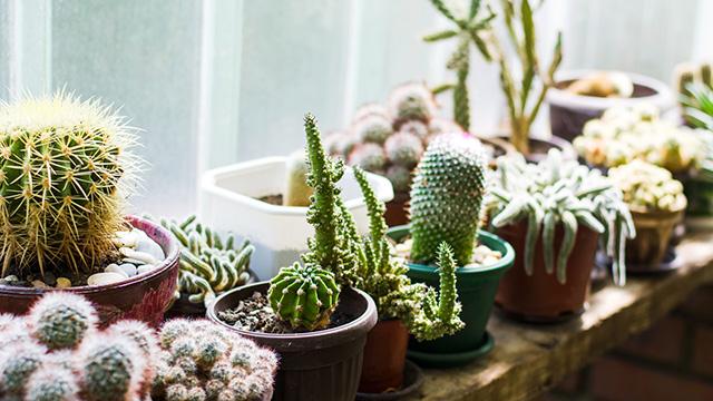 サボテンを室内で育てるコツと注意点